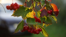 Rowanberry Wallpaper Full HD