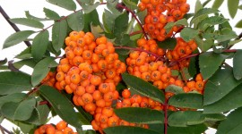 Rowanberry Wallpaper Gallery