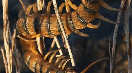 Scolopendra Wallpaper For IPhone