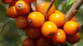 Sea Buckthorn Wallpaper For IPhone Free
