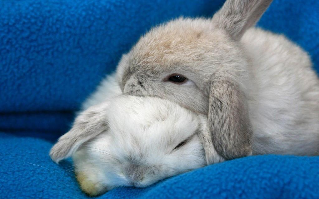 Sleeping Bunnies wallpapers HD