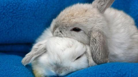 Sleeping Bunnies wallpapers high quality