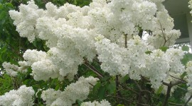 White Lilac Desktop Wallpaper