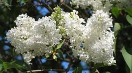 White Lilac Photo