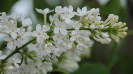 White Lilac Photo Download