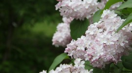 White Lilac Wallpaper For Desktop