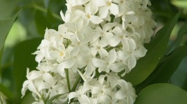 White Lilac Wallpaper For IPhone