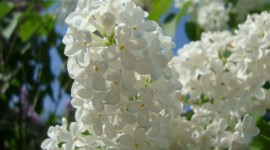 White Lilac Wallpaper For PC