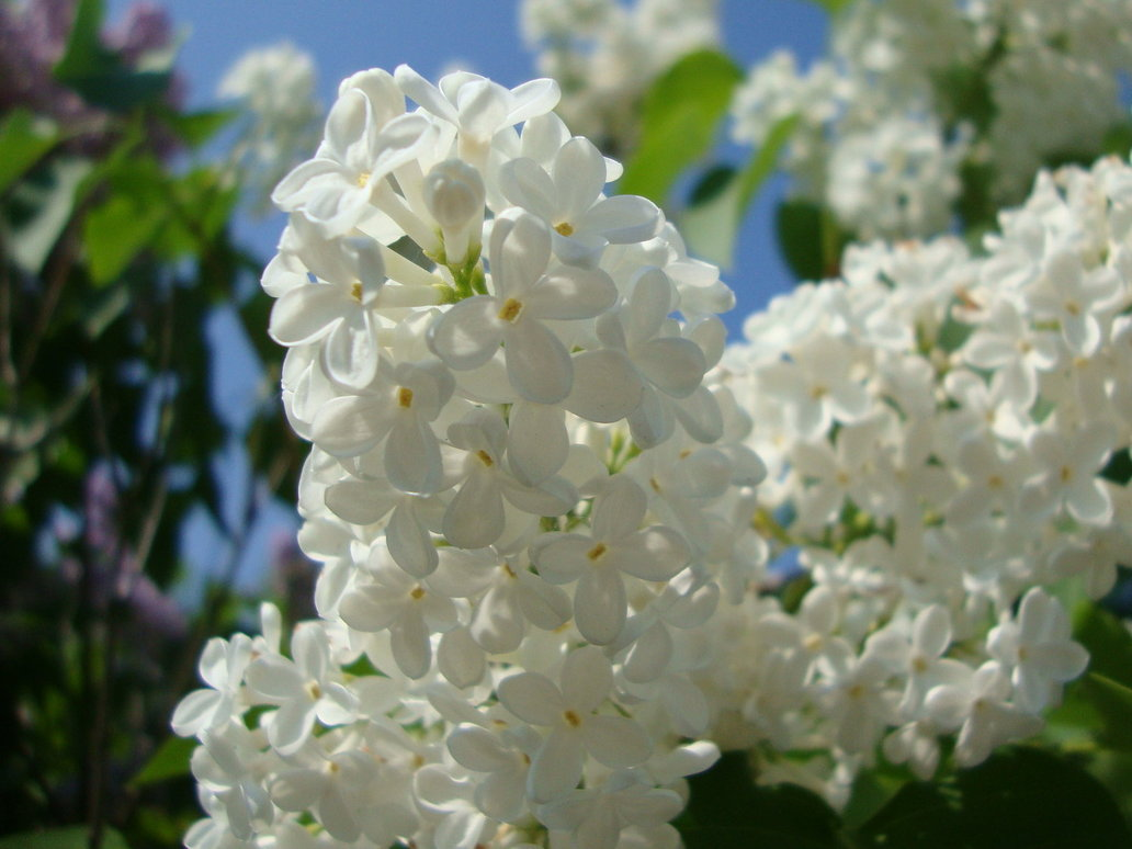 white lilac wallpapers high quality download free