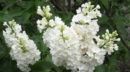 White Lilac Wallpaper Free