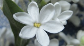 White Lilac Wallpaper Gallery