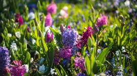 4K Hyacinth Photo Download