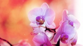 4K Orchid Photo Download