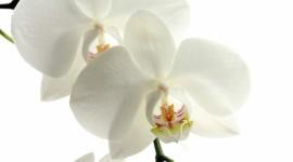 4K Orchid Wallpaper Download
