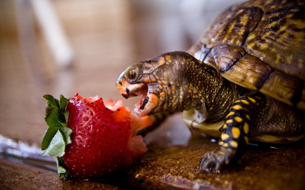 A Turtle Eats wallpapers HD