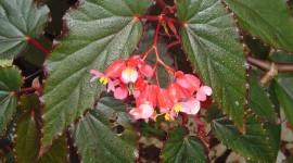 Begonia Photo Download