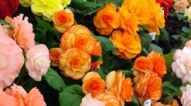 Begonia Photo Free#1