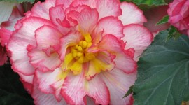 Begonia Photo#1