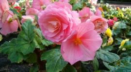 Begonia Photo#2