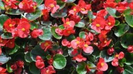 Begonia Wallpaper Download