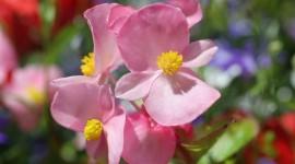 Begonia Wallpaper Download Free
