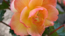 Begonia Wallpaper For IPhone