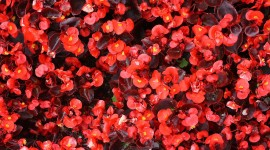 Begonia Wallpaper For PC