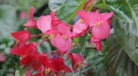 Begonia Wallpaper Free