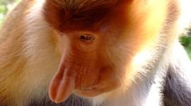 Big Nosed Monkey Best Wallpaper