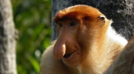 Big Nosed Monkey Desktop Wallpaper