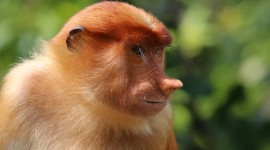 Big Nosed Monkey Desktop Wallpaper HD