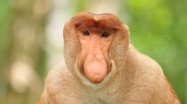 Big Nosed Monkey Photo