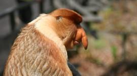 Big Nosed Monkey Photo Free