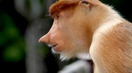 Big Nosed Monkey Photo#1