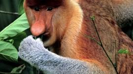 Big Nosed Monkey Wallpaper Full HD