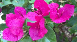 Bougainvillaea Photo