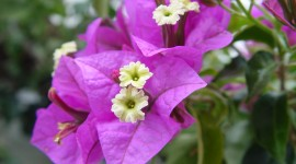 Bougainvillaea Photo Download