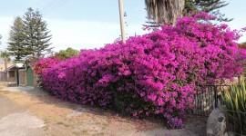 Bougainvillaea Photo Free