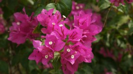 Bougainvillaea Wallpaper 1080p