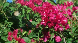 Bougainvillaea Wallpaper