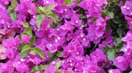 Bougainvillaea Wallpaper Download