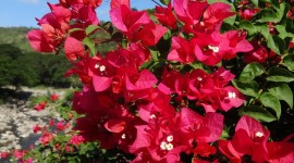 Bougainvillaea Wallpaper For Android