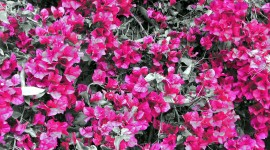Bougainvillaea Wallpaper For PC