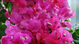 Bougainvillaea Wallpaper Full HD