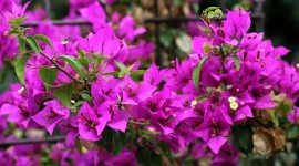 Bougainvillaea Wallpaper Gallery