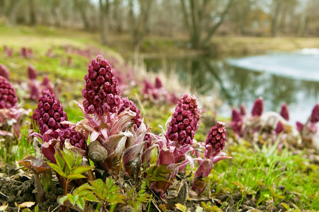 Butterbur wallpapers HD
