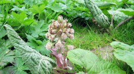 Butterbur Photo