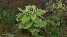 Butterbur Photo Download