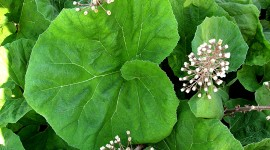 Butterbur Photo#1
