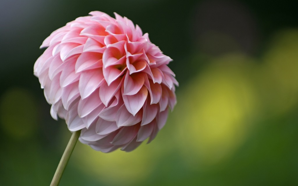 Dahlias wallpapers HD
